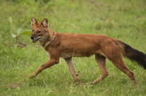 Lone Wild Dog of Bandipur