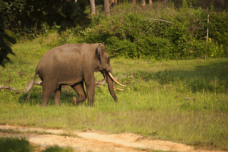 Elephant in Bandipur