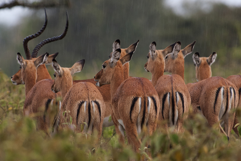 Impala herd in Lake Nakuru