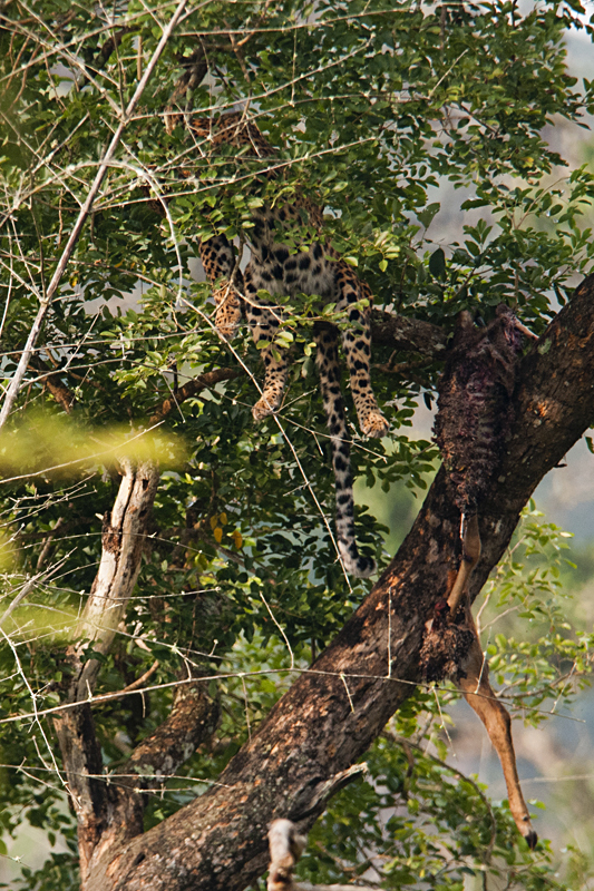 Leopard with spotted deer kill in Bandipur National Park
