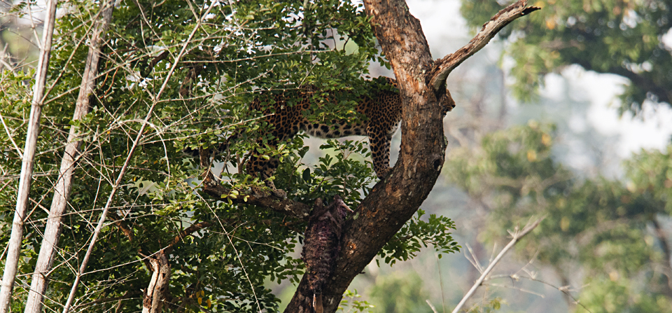 Leopard with Spotted Deer Kill in Bandipur