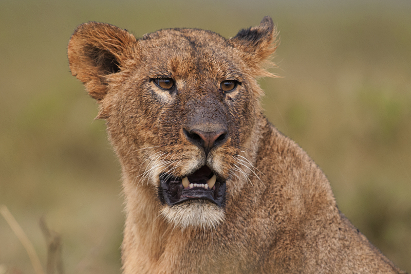 Lion in Lake Nakuru