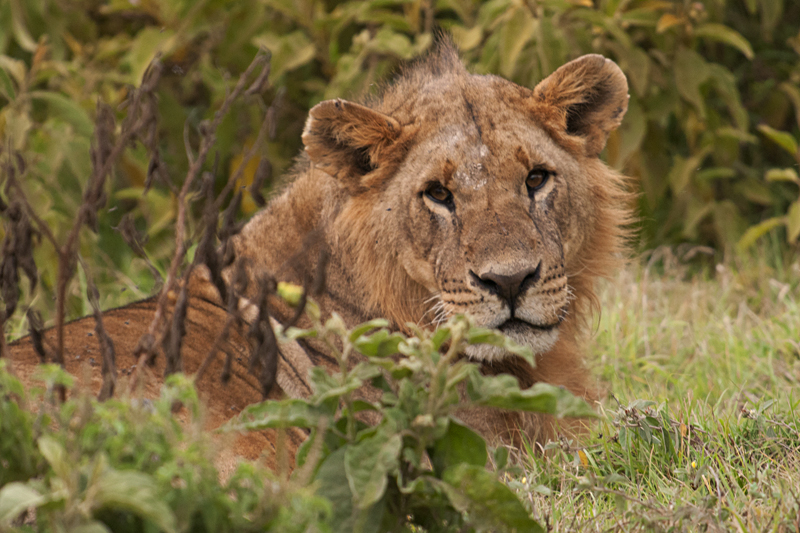 Lions in Lake Nakuru National Park