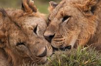 African Lion brothers in Lake Nakuru