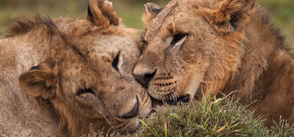 African Lion brothers in Lake Nakuru
