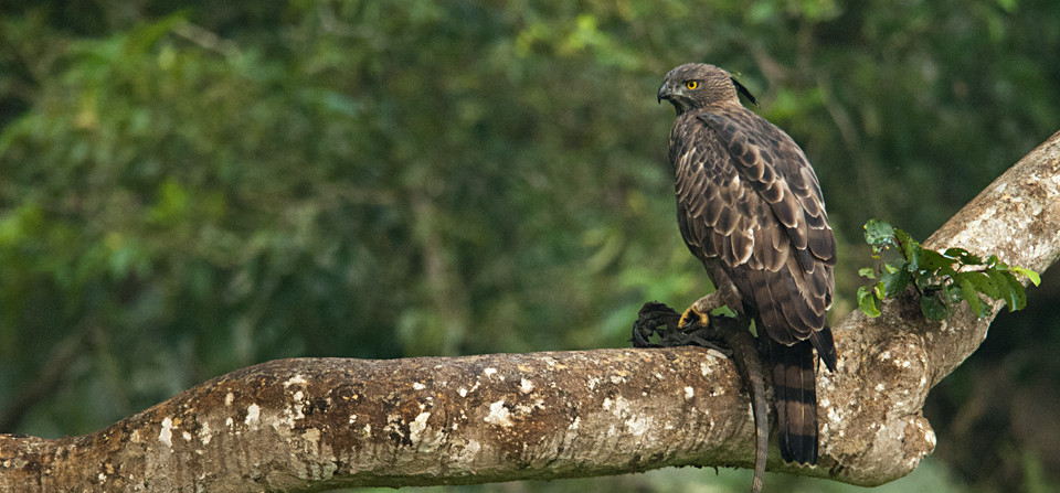 Crested Hawk Eagle with Monitor Lizard kill in Bandipur