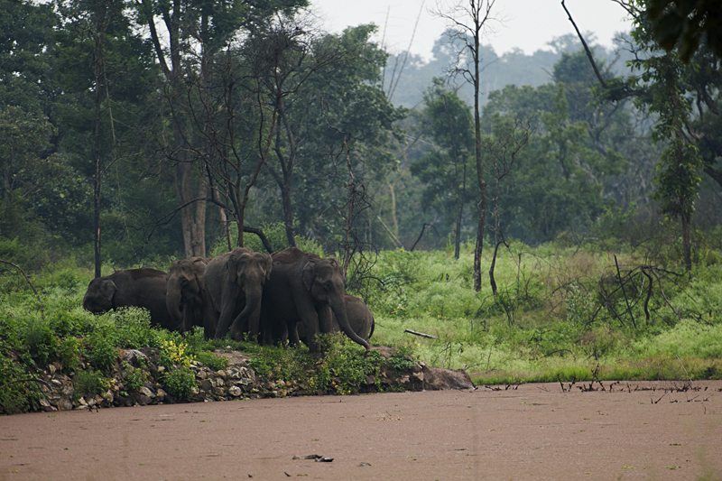 Elephant herd in Bandipur
