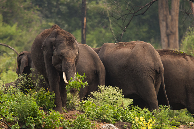 Elephant in herd in Bandipur