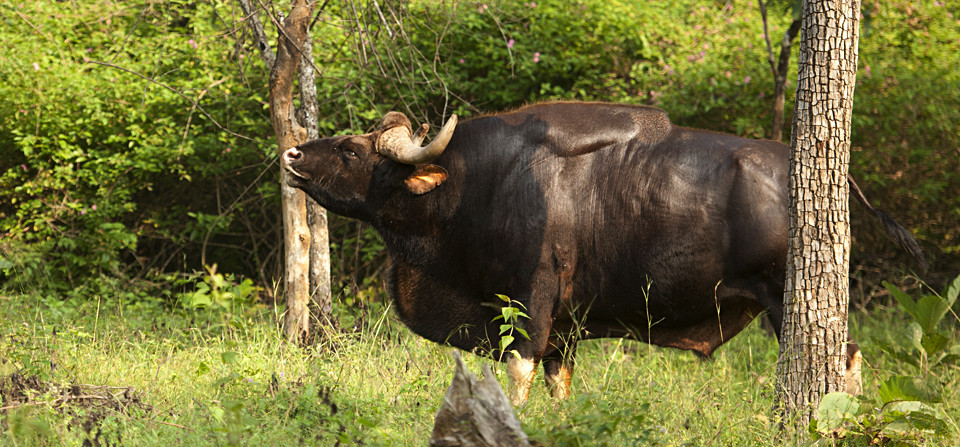 Bull Gaurs in Rutting Season