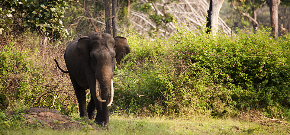 Congregation of Asiatic Elephants in Bandipur