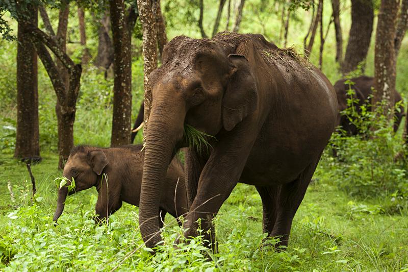 Elephant Herd in BR Hills