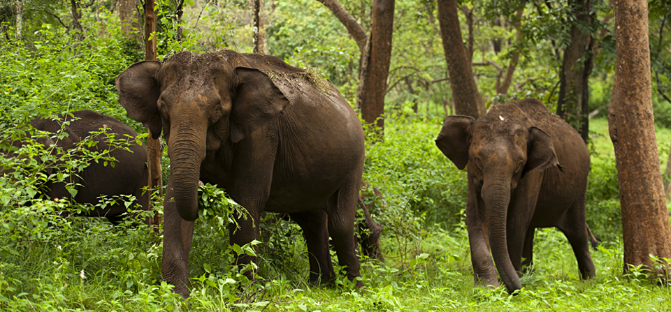 Charging Elephant in BR Hills
