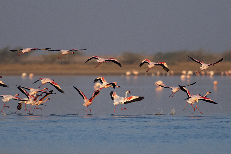 Lesser Flamingo taking flight