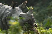 Encounter with a curious Indian Rhinoceros in Kaziranga