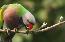Red-Breasted Parakeets in Kaziranga