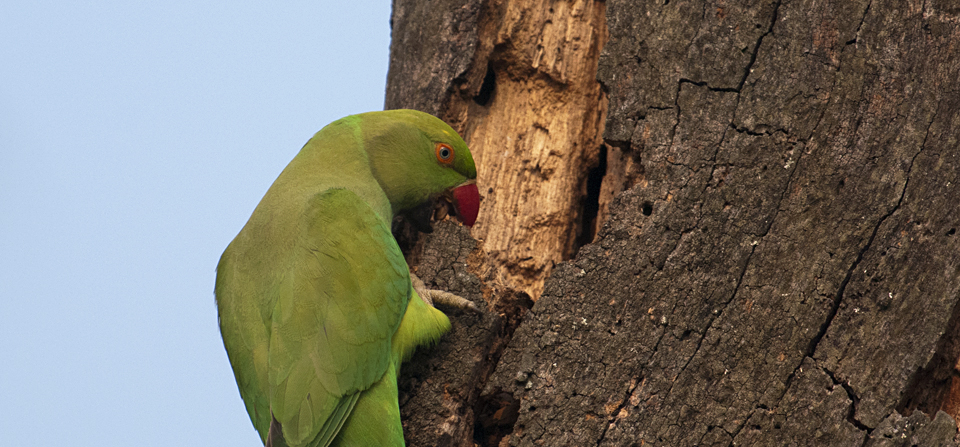 Rose-ringed Parakeet hard at work in Kaziranga