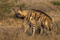 Striped Hyena in Little Rann of Kutch