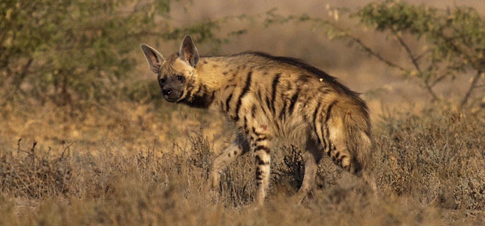Striped Hyena in Little Rann of Kutch