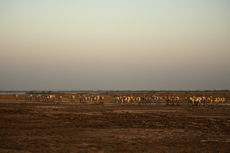 Wild Ass herd in Rann of Kutch