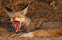 In search of a Desert Fox in Little Rann of Kutch