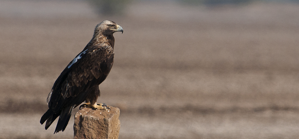 Imperial Eagle in Little Rann of Kutch