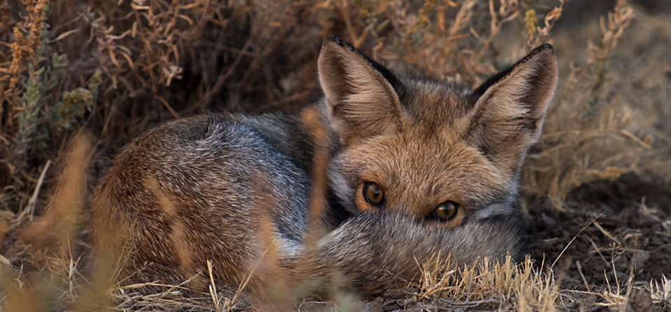 Friendly Desert Fox in Little Rann of Kutch