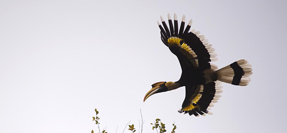 Pallas's Fish Eagle in Kaziranga