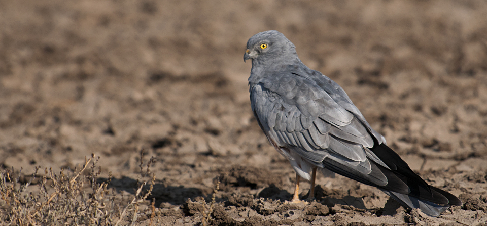Montagu's Harrier in Little Rann of Kutch