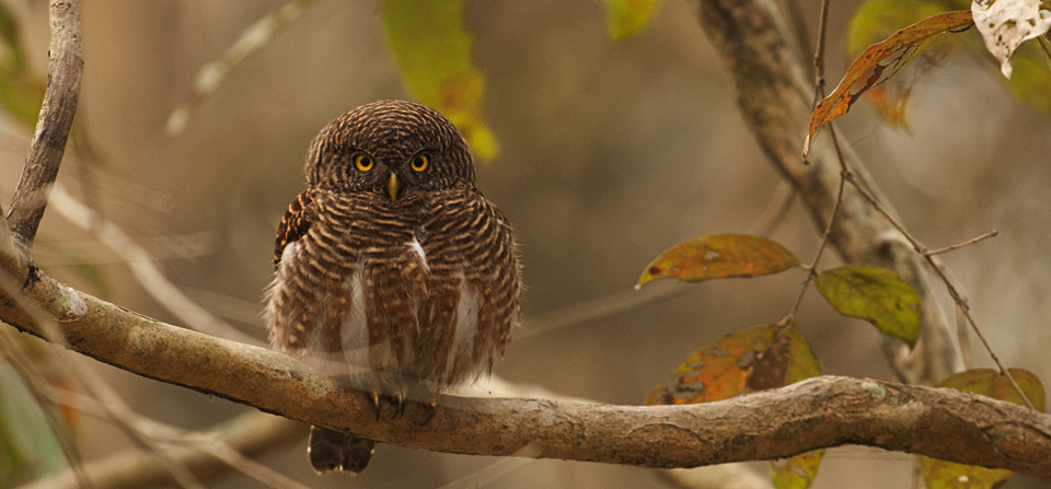 Asian Barred Owlet in Kaziranga