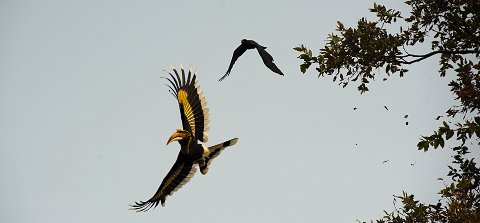 Photographing the elusive Great Hornbill in Kaziranga
