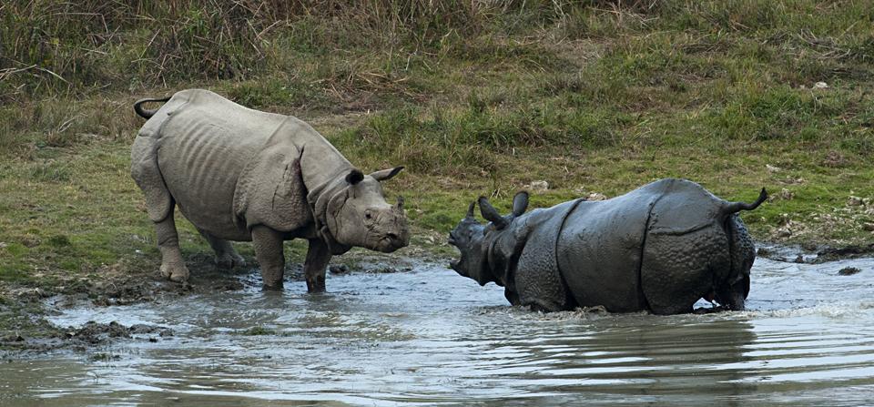 Sparring Rhinos in Kaziranga