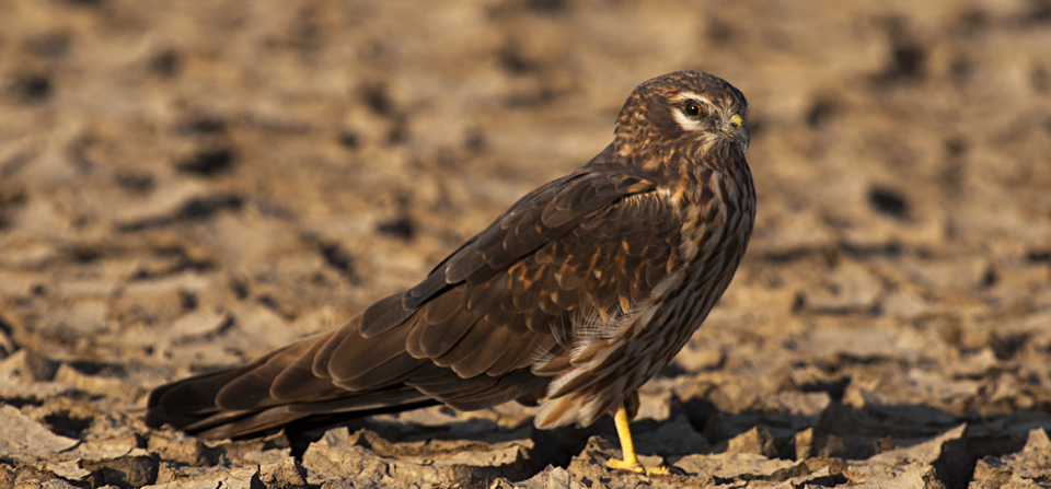 Best place for Harrier photography – Little Rann of Kutch
