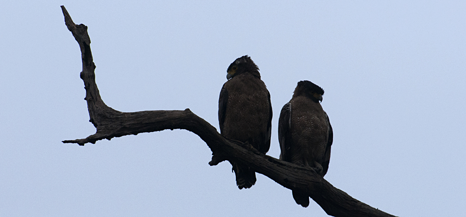 Crested Serpent Eagles and more, in Kaziranga