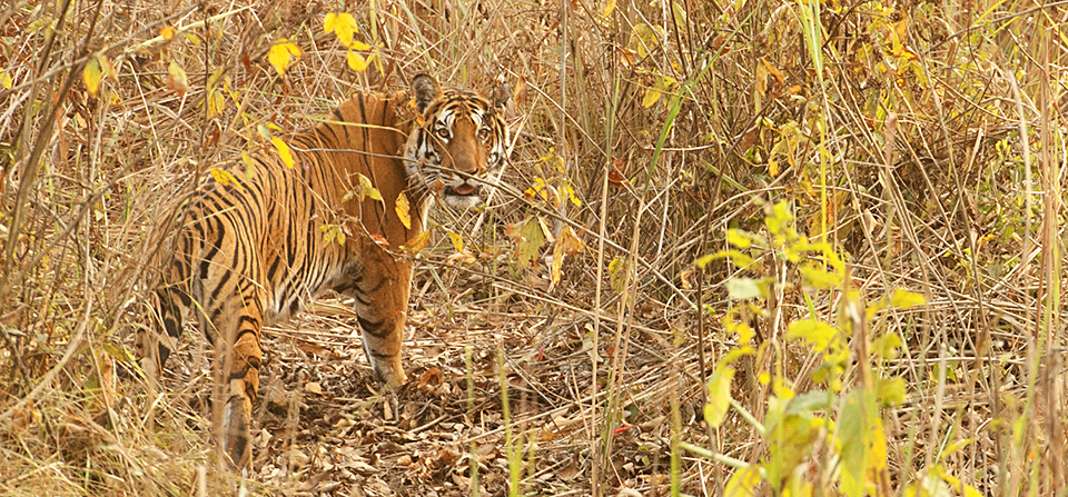 Finally a Tiger sighting in Kaziranga