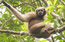 Search for the Hoolock Gibbon – India's only Apes
