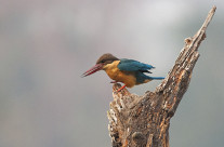 Portraits of Stork-billed Kingfishers in Kaziranga