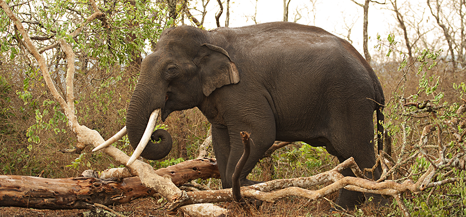 Majestic Tusker sighting in Bandipur