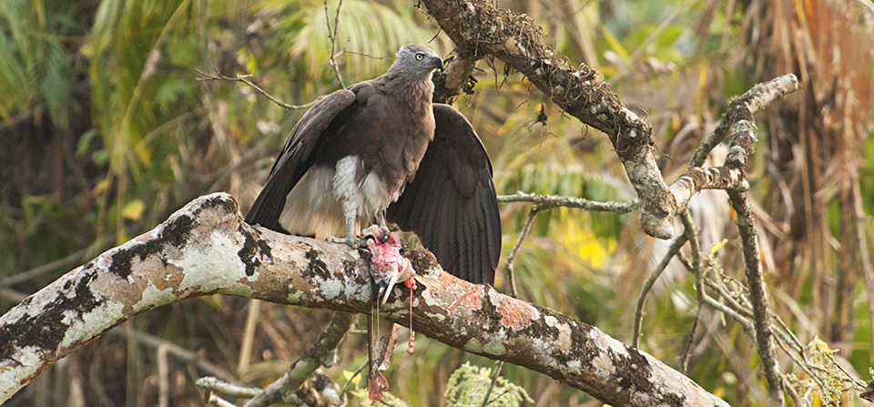 Grey-headed Fish Eagle feasting on a catch in Kaziranga