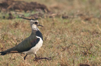 India's most beautiful Lapwing – Northern Lapwing