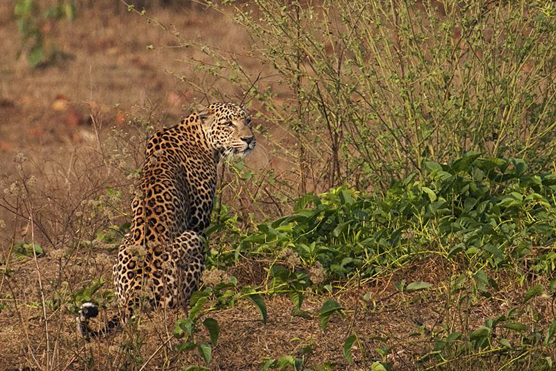 Leopard in Habitat