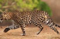 Day of Leopards in Bandipur