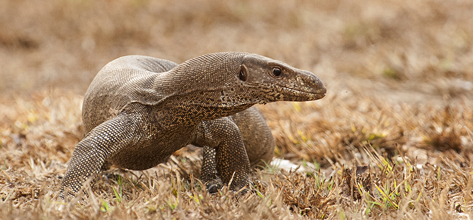 Boldest Monitor Lizard of Bandipur