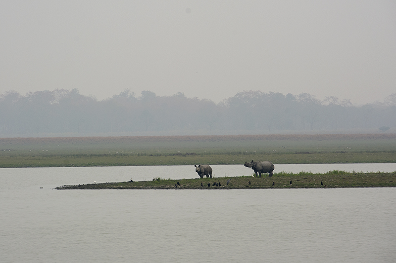 Rhinoceros in Kaziranga