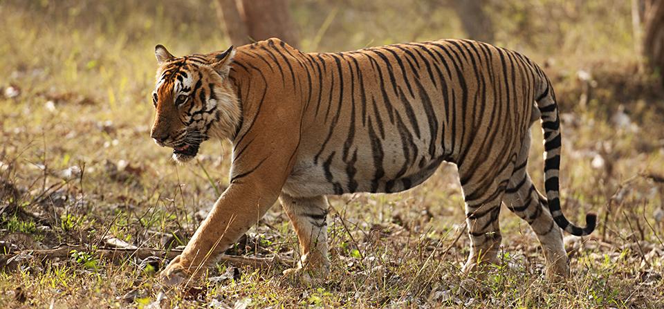 Bengal Tiger – Prince of Bandipur