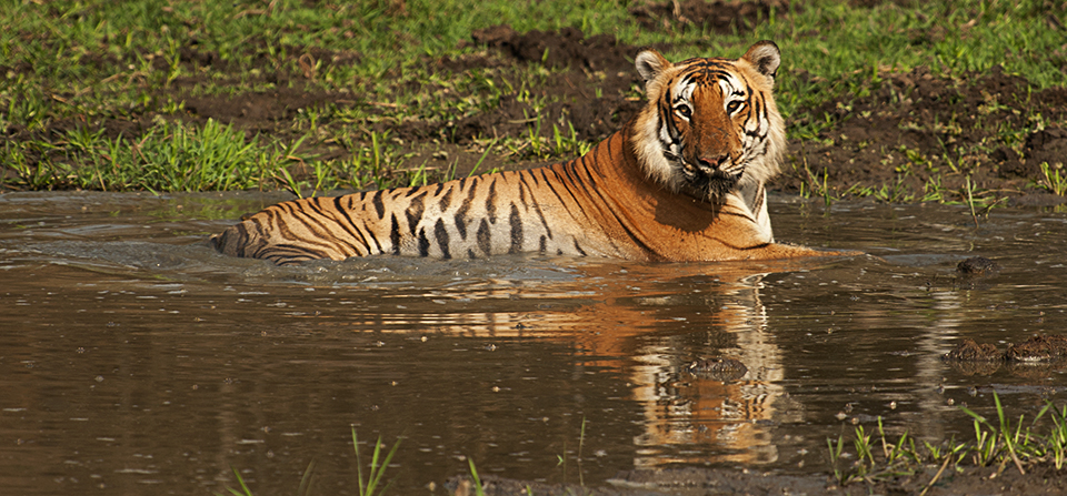 Bengal Tiger – Prince of Bandipur…Continued