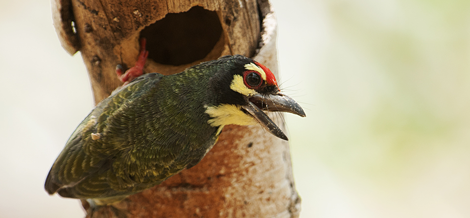 Diligent Coppersmith Barbet