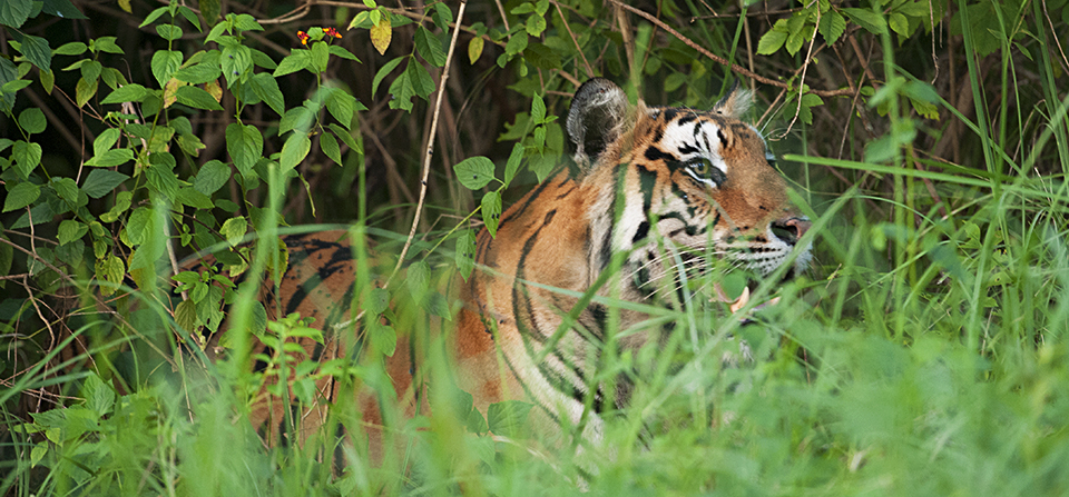 Bengal Tiger in BR Hills