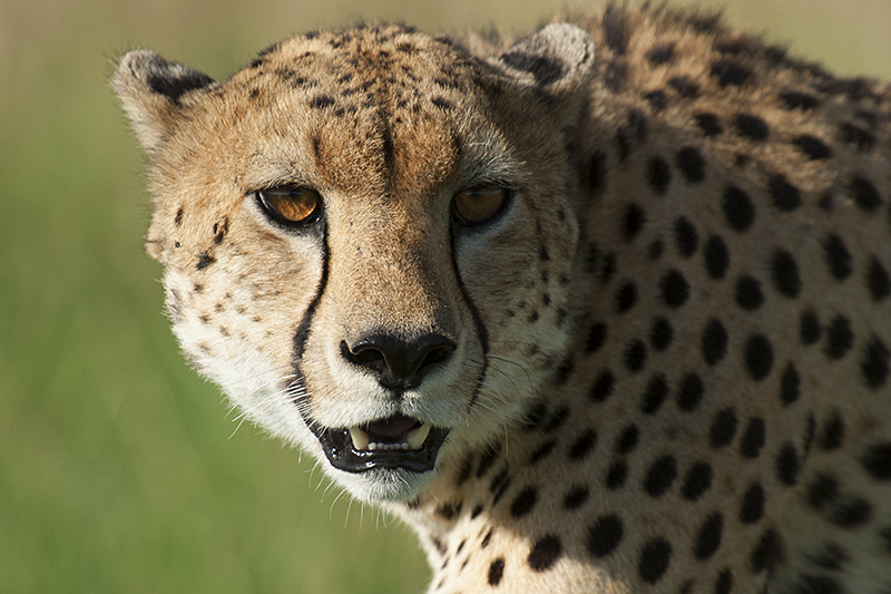 Cheetah brothers spotted in Masai Mara