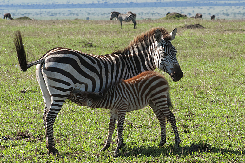 Quiet beginning to a memorable Mara safari