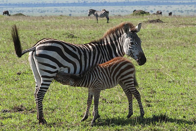 Quiet beginning to a memorable Mara safari